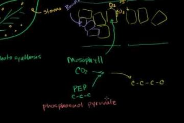 Lecture: C-4 Photosynthesis: How Some Plants Avoid Photorespiration